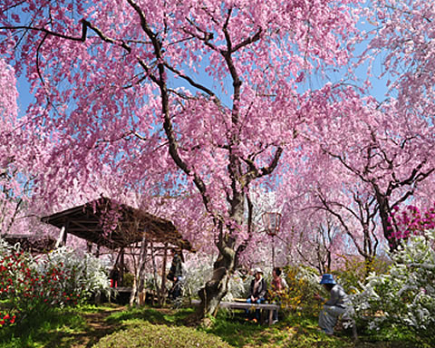 a place famous for its cherry blossoms